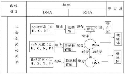 知识网络构建  重点知识整合 一、蛋白质、核酸的结构和功能 1、核酸与蛋白质的关系  2、DNA的多样性与蛋白质多样性的关系  蛋白质、核酸的结构和种类具有物种差异性,因而可以从分子水平上用来区分不同物种的亲缘关系。 3、蛋白质和核酸的相关计算 (1)蛋白质的相关计算: 计算蛋白质中的氨基酸数目: 若已知多肽中氮原子数为m,氨基个数为n,则缩合为该多肽的氨基酸数目为m-n+肽链数。 若已知多肽中的氮原子数为m,则缩合成该多肽的氨基酸数目最多为m。 计算蛋白质中的O、N原子数目: O原子数=各氨基酸中O原